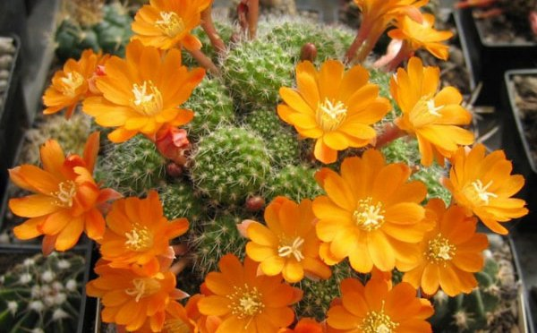 Rebutia Varieties